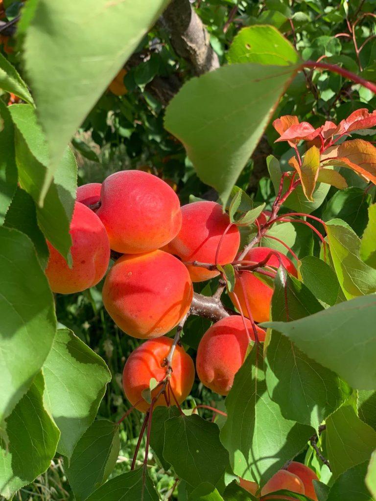 Plant d'abricotiers